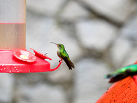 Little green Garden Emerald Hummingbird