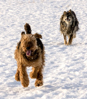 ...Airedale in full flight...