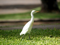 Ibis on the University lawns