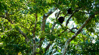 Howler monkeys in the trees above
