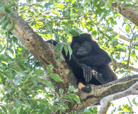 Larghe male Howler monkey